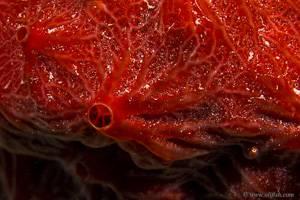red sponge - Didemnum rubeum