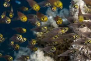 Goldener Glasfisch - Parapriacanthus ransonnet