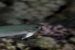 Großer Bläuling - Amblyglyphidodon leucogaster