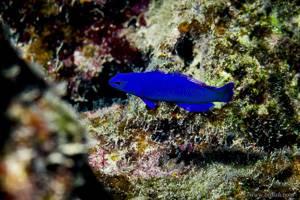 König Salomon Zwergbarsch - Pseudochromis fridmani