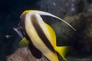 Rotmeer Wimpelfisch - Heniochus intermedius