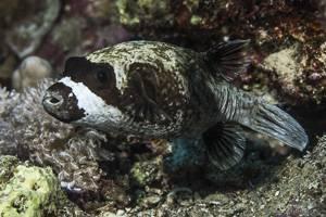 Masken Kugelfisch - Arothron diadematus
