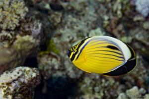 Red Sea melon butterflyfish - Chaetodon austriacus