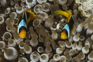 Twoband anemonefish - Amphiprion bicinctus