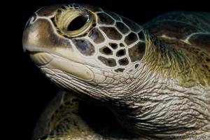 Tortue -