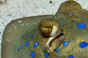 Blaupunk trochen - Taeniura lymma