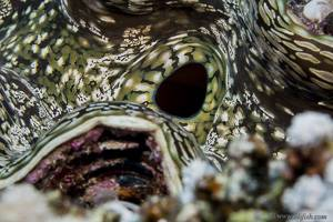 Schuppige Riesenmuschel - Tridacna gigas