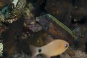 Blauschwanz Kofferfisch - Ostracion cyanurus
