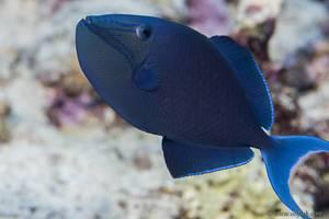 Redtoothed triggerfish - Odonus niger