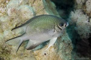 Whitebelly damselfish - Amblyglyphidodon leucogaster