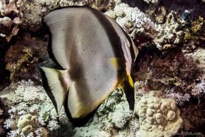 Gewöhnlicher Fledermausfisch - Platax orbicularis