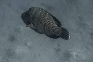 Napoleon Lippfisch - Cheilinus undulatus