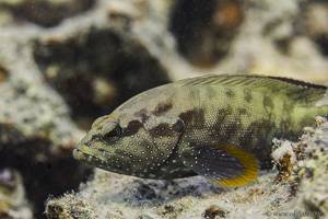 Common Lyretail-cod - Variola louti