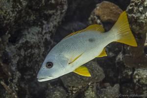 Einfleck Schnapper - Lutjanus monostigma