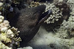 Giant moray - Gymnothorax javanicus