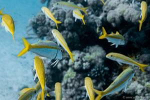- Mulloidichthys flavolineatus