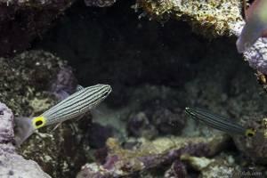 Fünflinien Kardinalbarsch - Cheilodipterus quinquelineatus