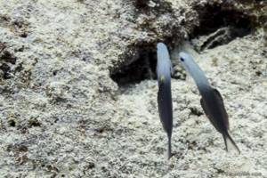 Scherenschwarnz - Torpedogrundel - Ptereleotris evides