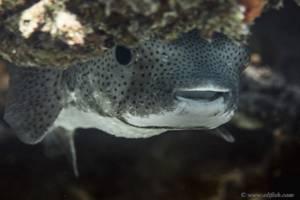 Riesen Kugelfisch - Arothron stellatus