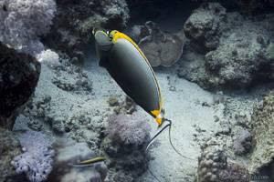 Indischer Gelbklingen Nasendoktor - Naso elegans