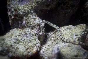 - Corythoichthys flavofasciatus