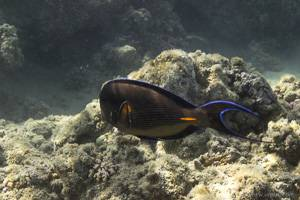 Red Sea Clown Surgeon - Acanthurus sohal