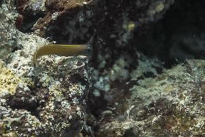 Blennie d'aron - Ecsenius aroni