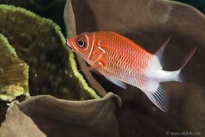 Silverspot squirrelfish - Sargocentron caudimaculatum
