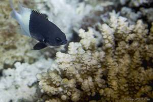 Demoiselle Bicolore - Chromis dimidiata