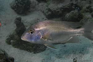Robinson's Seabream - Gymnocranius grandoculis