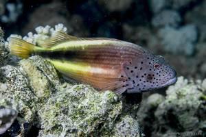 Forster's Hawkfish - Paracirrhites forsteri
