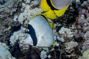 Lined butterflyfish - Chaetodon lineolatus