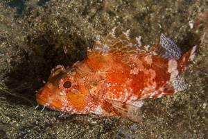 Madeira Rockfish - Scorpaena maderensis