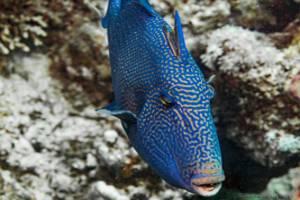 Baliste à ride bleue - Pseudobalistes fuscus