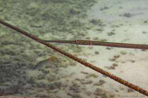 Bluespotted cornetfish - Fistularia commersonii
