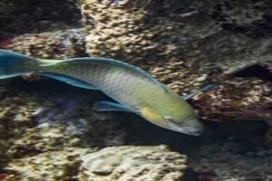 Common parrotfish - Scarus psittacus