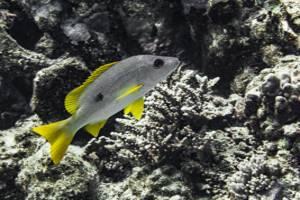 Vivaneau eglefin - Lutjanus monostigma