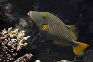 Orange-lined triggerfish - Balistapus undulatus
