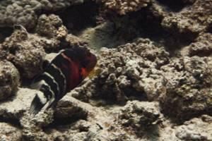 Labre a poitrine rouge - Cheilinus fasciatus
