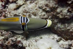 Picasso triggerfish - Rhinecanthus assasi