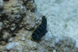 Ver plat tigré - Pseudoceros dimidiatus