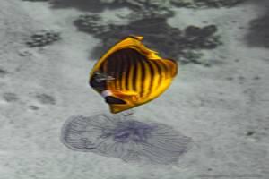 Papillon raton laveur de Mer Rouge - Chaetodon fasciatus