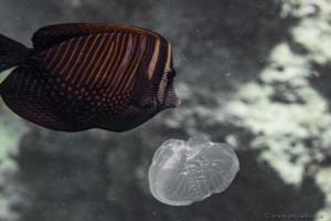 Chirurgien voilier - Zebrasoma desjardinii