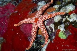 Necklace Sea Star - Fromia monilis