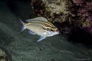 Arabian monocle bream - Scolopsis ghanam