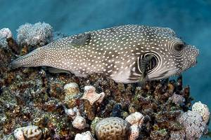 White-spotted puffer - Arothron hispidus