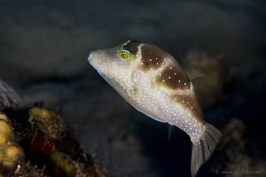 Blue-spotted toby - Canthigaster cyanospilota