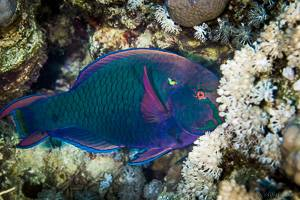 Dusky parrotfish - Scarus niger