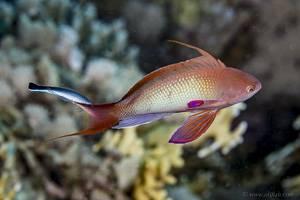 Sea goldie - Pseudanthias squamipinnis