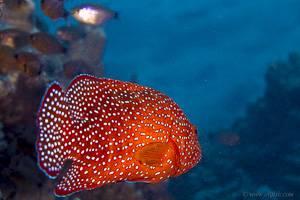 Red Sea Coral Grouper - Cephalopholis miniata
